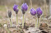 image of villi  - beautiful fresh spring flowers primroses in bloom - JPG