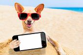 stock photo of chihuahua  - chihuahua dog at the beach with sunglasses taking a selfie with blank white empty smartphone screen - JPG