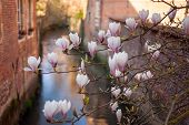 foto of gents  - Pink magnolia flowers over a canal in Gent Belgium - JPG