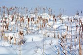 stock photo of bulrushes  - Winter  - JPG