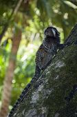 foto of marmosets  - A wild marmoset  - JPG
