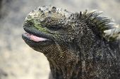 picture of pacific islands  - Galapagos Marine Iguana - JPG