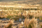 foto of andes  - Vicuna or vicugna is wild South American camelid which live in the high alpine areas of the Andes - JPG