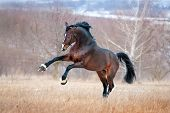 foto of breed horse  - Beautiful brown horse racing galloping across the field on a background autumn forest - JPG