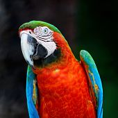 pic of harlequin  - Beautiful parrot bird Harlequin Macaw in portrait profile - JPG
