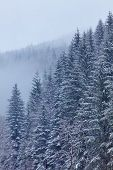 stock photo of coniferous forest  - Landscape with snow - JPG