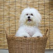 picture of dog breed shih-tzu  - Shih tzu puppy breed tiny dog in basket with japan mat background - JPG