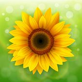 pic of sunflower  - Nature Background with sunflower over green bokeh background - JPG