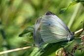 pic of animals sex reproduction  - two white cabbage butterfly - JPG
