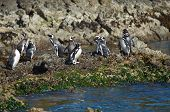 picture of pacific islands  - Magellanic penguins (Spheniscus magellanicus) at Monumento Natural Isolotes de Punihuil on the pacific coast of Chilo� island in Chile, South America ** Note: Soft Focus at 100%, best at smaller sizes - JPG