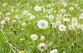 image of dandelion  - Field of white fluffy dandelions white dandelions on green natural background - JPG