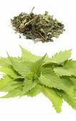 pic of nettle  - Closeup of fresh green nettle and heap of dried nettle in background - JPG