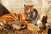 stock photo of tigers-eye  - The tiger mum in the zoo with her tiger cub  - JPG