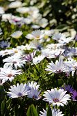 foto of daisy flower  - White daisy flowers. White daisies. Spring flowers.