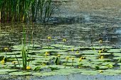 image of lily  - Blossoming Water - JPG
