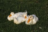 foto of duck  - The white duckling sleeping together on the grass - JPG