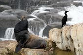 picture of sea lion  - A California Sea Lion and Brant - JPG
