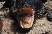 pic of alligators  - Alligator with mouth wide open showing massive amount of teeth - JPG