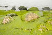 image of algae  - Coast, stones in the algae, raising the water temperature to greenhouse effect.