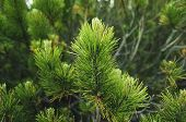 picture of conifers  - Background from conifer evergreen tree branches - JPG