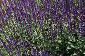 picture of clary  - Salvia nemorosa is a hardy herbaceous perennial plant native to a wide area of central Europe - JPG