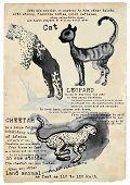 foto of cheetah  - An hand drawn illustration placard  - JPG
