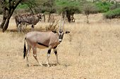 stock photo of antelope  - Gemsbok antelope  - JPG