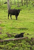 picture of calf cow  - cow keeping a watchful eye over calf - JPG
