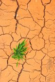 picture of dry grass  - Grass Seedling Growing Trough Dry Soil Cracks - JPG