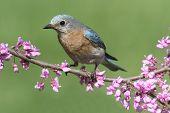 image of bluebird  - Female Eastern Bluebird  - JPG