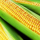 foto of corn cob close-up  - close up view of corn cob as background - JPG