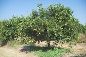 image of orange-tree  - Orange trees in plantation - JPG