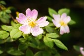 picture of wild-brier  - A nice pink briar rose under the warm spring sun - JPG