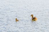 stock photo of baby duck  - A female duck is swimming on the river with her baby duckling - JPG