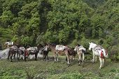 image of horses eating  - the horse is eating grass on a field in Poonhill Nepal - JPG