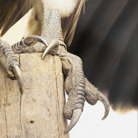 pic of claw  - claws of an eagle as a symbol of grandeur and power - JPG