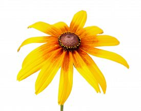 pic of black-eyed susans  - Yellow flower of Rudbeckia hirta or Black Eyed Susan with stem - JPG