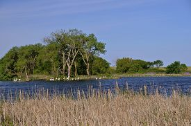 picture of cattail  - A flock of white beautiful herons sun in a marsh surrounded by colorful flowers and old cattails - JPG
