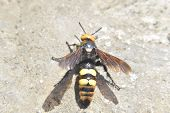 Постер, плакат: Megascolia Maculata The Mammoth Wasp
