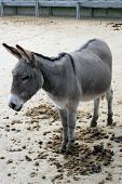 picture of jack-ass  - A donkey in its stable in Devon - JPG