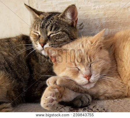 poster of Portrait Of Two Cats, Brown And Yellow, Sleeping Near Each Together On Sunny Day. Valletta, Malta, B