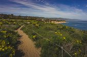 Beautiful Yellow Wildflowers Blooming And Covering Point Dume In Springtime With Coastline View Of D poster