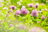 Pink Clover Flowers Under Warm Sunlight - Summer Sunset Landscape. Selective Focus At The Clover Flo poster