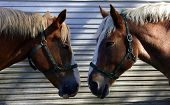 image of workhorses  - two horses are exchanging looks - JPG