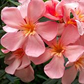 Vibrant Pink Oleander Bunch Closeup