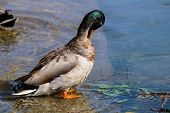 A Male Mallard Drake Beginning To Moult, Preening His Feathers poster