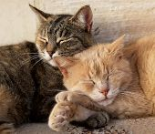 Portrait Of Two Cats, Brown And Yellow, Sleeping Near Each Together On Sunny Day. Valletta, Malta, B poster