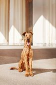 Young Irish Terrier Sits At The Station Waiting. poster
