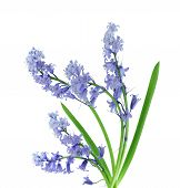 picture of may-flower  - Fresh bluebell flowers and leaves isolated on white - JPG