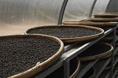 Black And Brown, Red Peppercorns Drying In Drying Room Or Box On Plates Of Reed On Black Pepper Plan poster